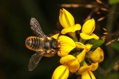 Leaf Cutter Bee. Leaf-Cutter Bee, Megachile centuncularis Stock Photo