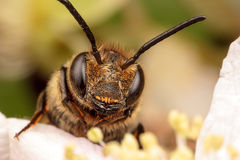 Leaf Cutter Bee. Portrait of Leaf Cutter Cuckoo Bee Stock Image