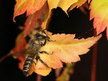 Leaf Cutter bee. Stock Photography