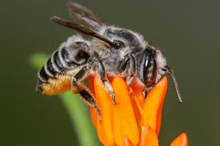 Leaf Cutter Resin Bee. Black and White Leaf Cutter Resin Bee on an Orange Flower Bloom Stock Photos