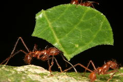 Leaf-cutting ant. Carrying piece of a leaf, Venezuela, Henri Pittier National Park stock photo