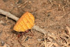 Leaf cutting ant, Venezuela Royalty Free Stock Images