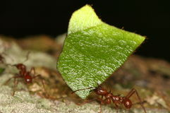 Leaf-cutting ants. Leaf-cutting ant carrying cut piece of a leaf, Venezuela, Henri Pittier National Park royalty free stock photo