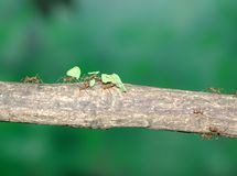 Leaf-Cutting Ants. Carrying leafs along a branch Royalty Free Stock Photo