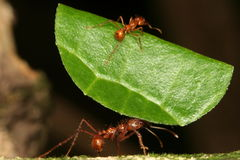 Leaf-cutting ants. Leaf-cutting ant carrying piece of a leaf, Venezuela, Henri Pittier National Park royalty free stock photo