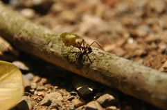 Leaf Cutting ants collect stock, leaf fragments for mushroom growing in Central American jungle. Panama royalty free stock photography