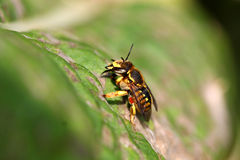 Leaf-cutting Bee Royalty Free Stock Images