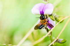 Leaf-cutting bee in macro green nature Royalty Free Stock Photos