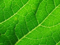 Leaf of cymbling in stock image