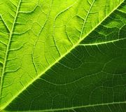 Leaf of cymbling Royalty Free Stock Photo