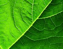 Leaf of cymbling. In back-light Royalty Free Stock Image
