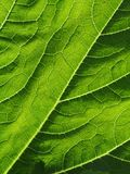 Leaf of cymbling. In locking light stock photos