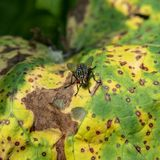 Leaf damage by fungal disease. NLeaf Damage to Fungal Disease. Close-Up. Square Image stock photography