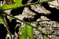 Leaf Decay Royalty Free Stock Images
