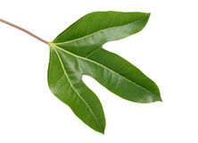 Leaf of Dendropanax trifidus Stock Photo