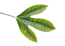 Leaf of Dendropanax trifidus Stock Images