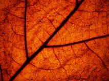 Leaf Detail. Macro of leaf detail, backlit Royalty Free Stock Images