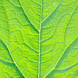 Leaf detail Stock Photography