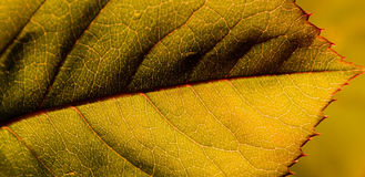 Leaf in detail Stock Image