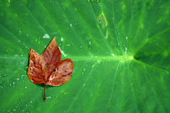 Leaf detail. With contrasting green and brown colors and raindrop Stock Photos