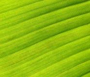 Leaf detail. Detail in banana palm tree leaf stock photo