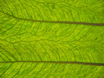 Leaf detail Royalty Free Stock Image
