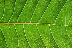Leaf detail. Stock Photo