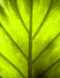 Leaf detail. Green leaf detail in green Stock Photo