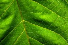 Leaf Detail Royalty Free Stock Photos