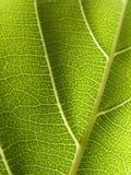 Leaf Detail. Underside of leaf Stock Images