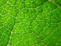 Leaf Detail royalty free stock photo