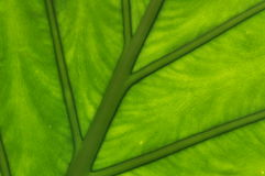 Leaf detail Royalty Free Stock Images