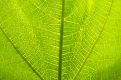 Leaf Detail. Green Leaf Detail Close-up Macro Photograph Stock Image