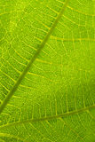 Leaf Detail. Green Leaf Detail Close-up Macro Photograph Stock Photography