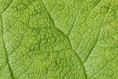 Leaf detail. Green leaf detail, ideal to use as background Royalty Free Stock Photos