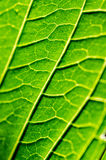 Leaf. Detail of the lignes of a leaf Royalty Free Stock Photography