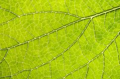 Leaf Details 001 Royalty Free Stock Images
