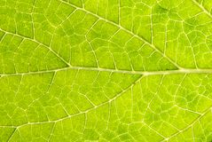 Leaf Details 002. The underside of a leaf up close reveals the patterns of the veins that make it up Royalty Free Stock Photo