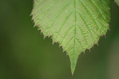 Leaf Details. A background of a green leaf in macro view Stock Images