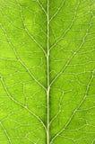 Leaf details Royalty Free Stock Image