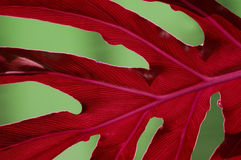 Leaf Details. Close-up of an elephant ear plant leaf with natural background royalty free stock photography