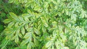Free Leaf Details Of Amorphophallus Muelleri Royalty Free Stock Images - 185429349