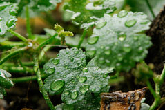 Leaf and dew. Macro of green leaf with water drops from dew and veins Royalty Free Stock Photo