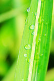 The leaf with dew. The dew falling on a leaf .looks very beautiful Royalty Free Stock Image