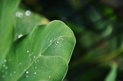 Leaf and Dew Drops. A closeup shot of Leaf and Dew Drops Royalty Free Stock Image