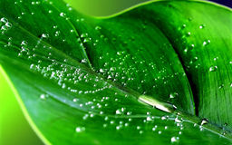 Leaf. Dew fresh cool morning leaf green water beautiful garden plants forest Royalty Free Stock Photos