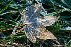 Leaf with dew months. Fall leaf dew months on green grass Stock Images