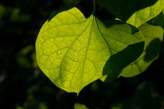 Leaf and dew in sunshine on dark background, soft focus Royalty Free Stock Photography