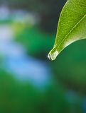 Leaf with dewdrop Stock Photography