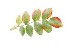 Leaf of dogrose Royalty Free Stock Image